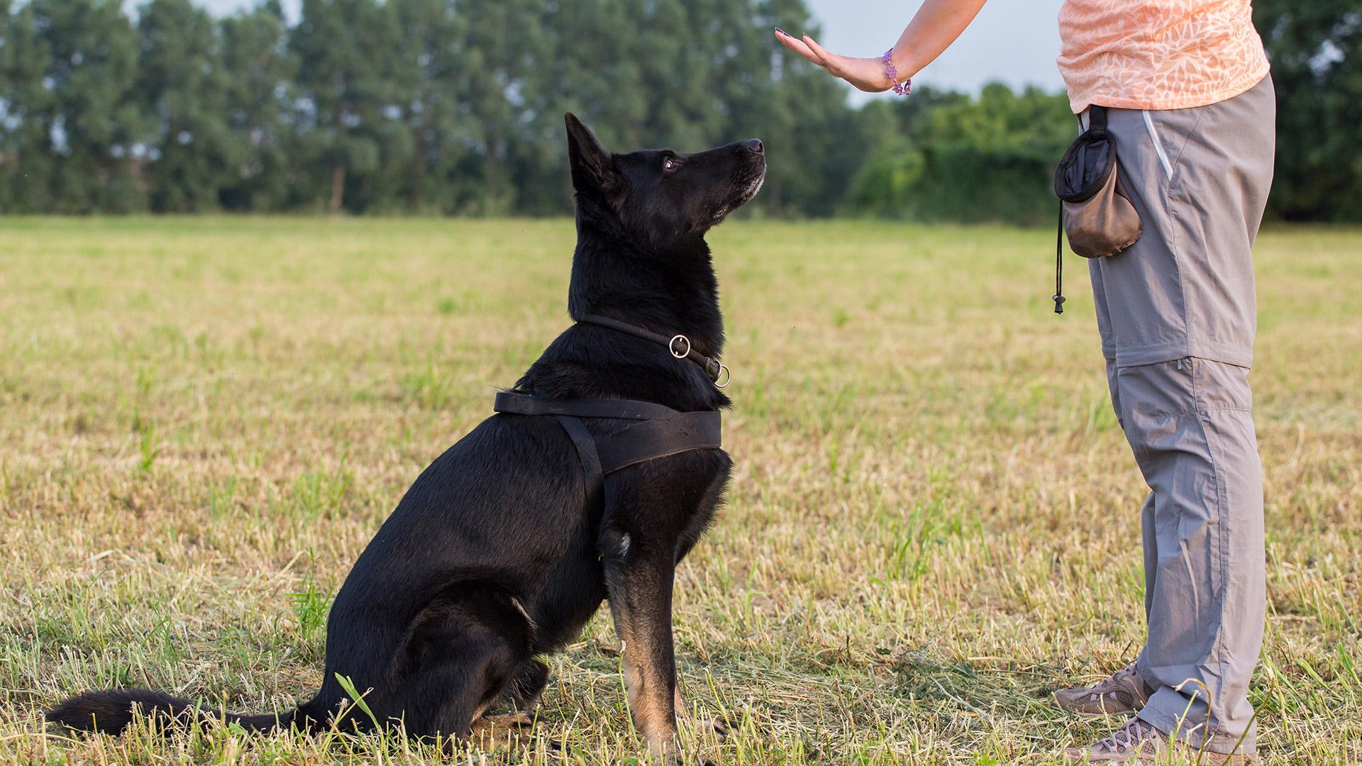 socialzing service dog