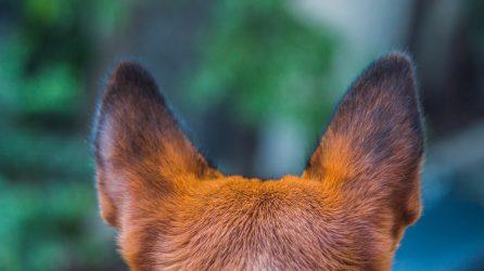 Hearing Dog Service Dog Training