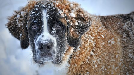 Extreme Cold Weather Safety for Dogs