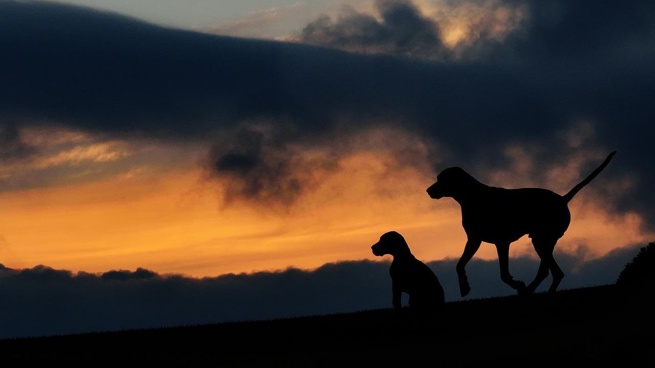 Successor Service Dogs