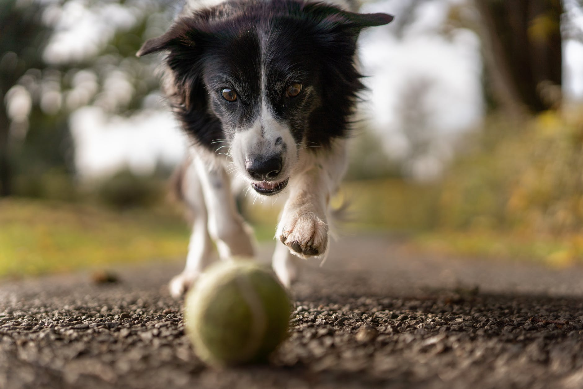 Older dog chasing ball