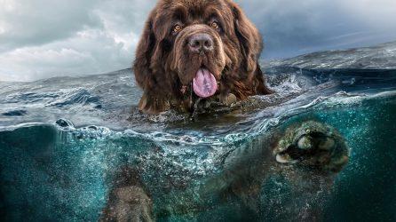 Water Rescue Dog Newfoundland