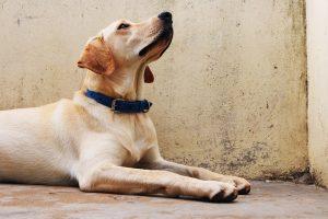 Labrador Retriever service dog sphynx down