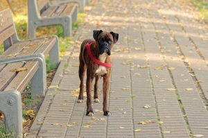 basic obedience positions boxer dog