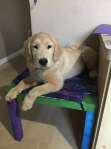place training service dog puppies