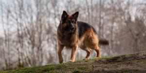 Psychiatric Service Dog Tasks