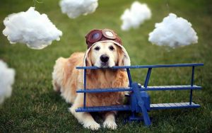 Golden Retriever rests his head on a model airplane