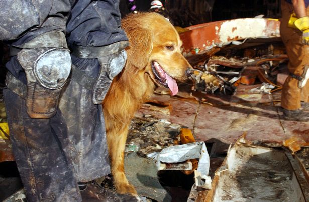Kent Olson and his dog, Thunder, from Lakewood, Washington search through the rubble for victims of the September 11 terrorist attacks at the World Trade Cente ( Image: Andrea Booher/FEMA/Getty Images)